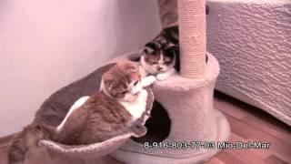 Шотландские котята 6 месяцев