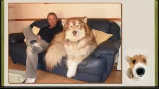 """Проект ProShow Produser. Фотоальбом  """"Самые большие собаки в мире"""""""