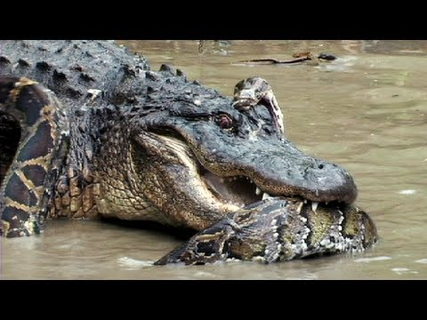 Crocodile vs alligator fight - photo#22