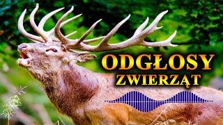 Niezwykłe ODGŁOSY🔊 Polskich Zwierząt