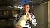 Кастрация кроликов - YouTube