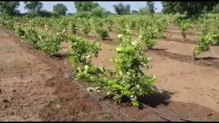 Seedless Lemon Farm