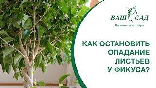 Как остановить опадание листьев у фикуса? Есть решение! ВАШ САД