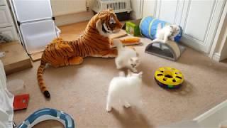Birman Kittens at 13 weeks old