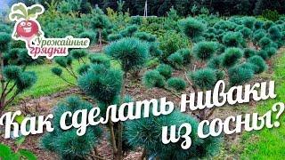 видео Форма кроны деревьев: фото и виды