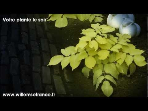 La plante fluo 39 sun king 39 willemse france youtube for Jardin willemse