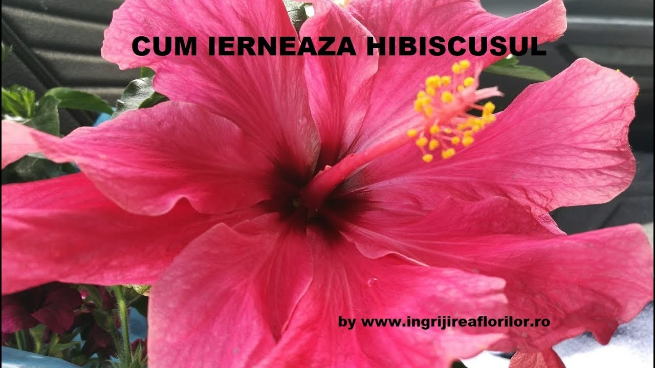 pierderea în greutate hibiscus beneficiază
