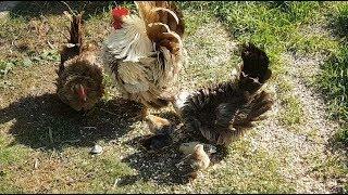 Miara ayam kate di Belanda: ayam kate baru beranak