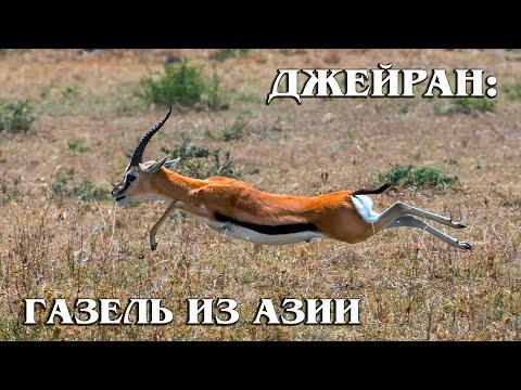 ДЖЕЙРАН: Чем газель отличается от антилопы? Интересные факты про парнокопытных и животных Азии