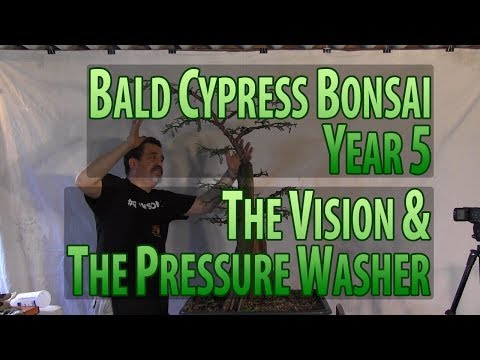 Bald Cypress Bonsai - Year 5 - The Vision & The Pressure Washer