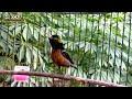 Terapi Kolibri Ninja Konin Macet Bunyi  Mp3 - Mp4 Download