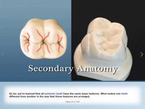 PTC Training - Posterior Dental Anatomy Demo