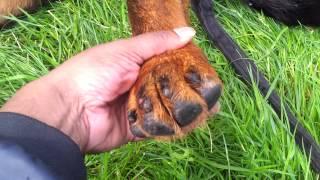 Rocky Rottweiler Hip Dysplasia Deterioration