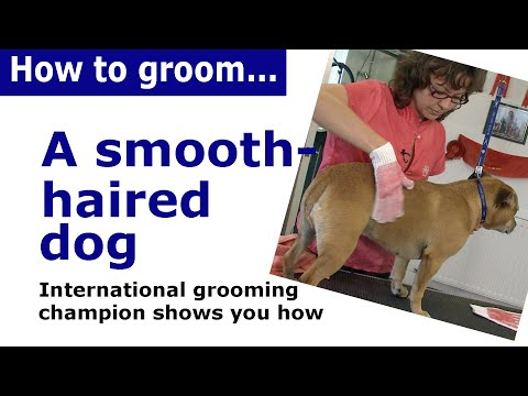 How to Groom a Smooth Haired dog - dog grooming demonstration