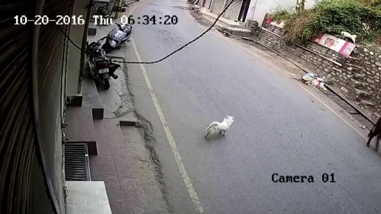Leopard Picks Up Dog In Himalayan Town. Nature Plays No Games.
