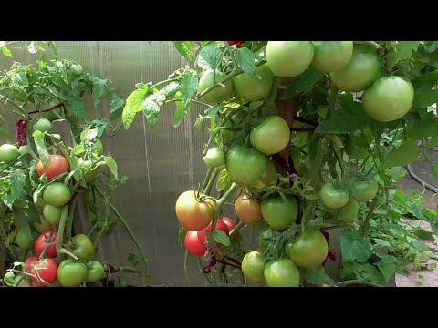 Вопрос: Какие ультроскороспелые сорта томата посадить?