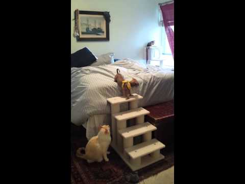 puppy-uses-bed-stairs-dachshund