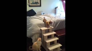 Puppy Uses Bed Stairs Dachshund