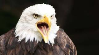 Lead ammunition takes toll on bald eagle population