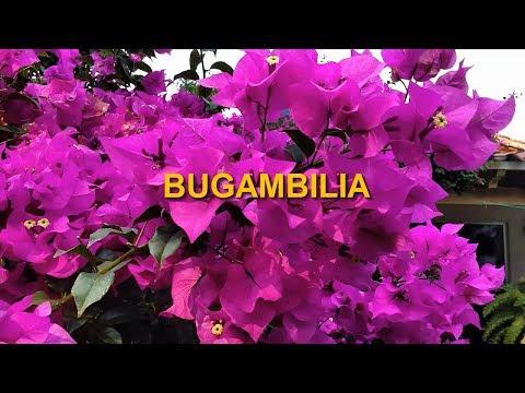 nombre cientifico de la bugambilia y para que sirve