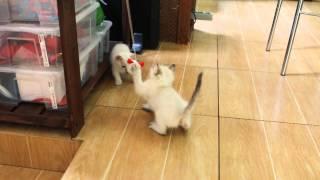 Тайские котята Продаются