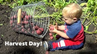 Harvesting Day! Onions, Potatoes, Garlic & more!