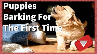 Puppies Barking For The First Time [Cute] (TOP 10 VIDEOS) thumbnail