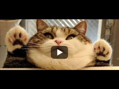 Kompilasi Vine Kucing (2016)