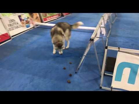 Stubborn Husky takes on obstacle course and epically fails!