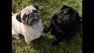 Очаровательная порода собак Мопс