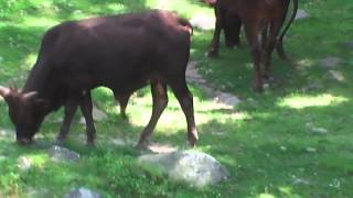 Skyliner Ride - Oxen
