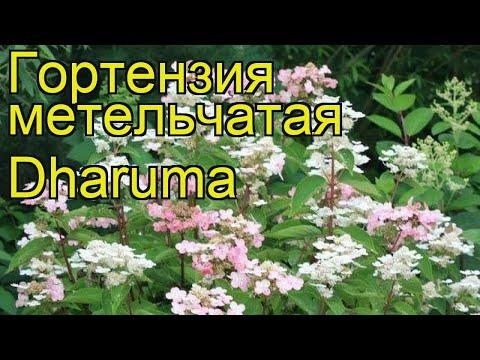 Гортензия метельчатая Дарума. Краткий обзор, описание характеристик hydrangea paniculata Dharuma