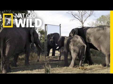 Elephant in the Mirror | Mind of a Giant