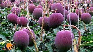 este es mango ms caro del mundo como se cultiva