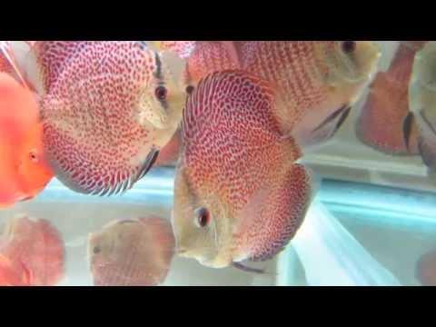 Leopard Snakeskin Discus Fish LSS Snake Skin   YouTube