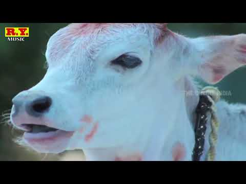 कलयुग में गाय की दुर्दशा । सुपरहिट चेतावनी भजन by RAMCHANDRA YADAV ...RY MUSIC
