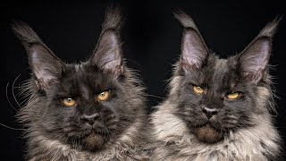 The majestic Maine Coon brothers Pontiac and Passo .