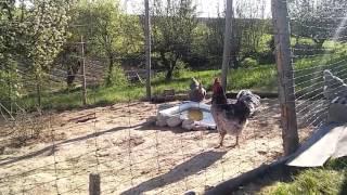 Kury i kaczki ozdobne: Kurczaki