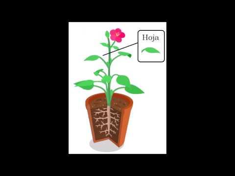 Las partes de la plantas y sus funciones youtube for Funcion de las plantas ornamentales