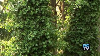 Crews remove ivy in Spanaway's Bresemann Forest