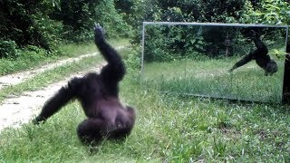 Front of mirror chimpanzee slap dance to scare intruders infiltrated their domain (their own images)