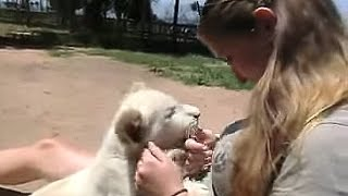 Cuddling with a cute baby white lion of 4 months