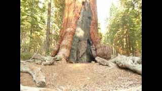 Grizzly Tree in Mariposa Grove / Largest Sequoias in the World