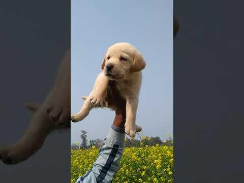8650006680 Show quality Labrador puppies for sale in Dehradun  Uttrakhand Patna Bihar Delhi Mumbai
