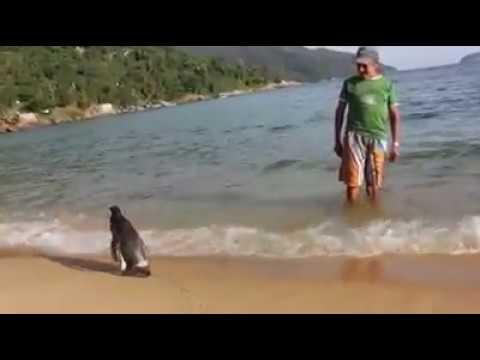 El pingüino que viaja todos los años para visitar al hombre que lo salvó