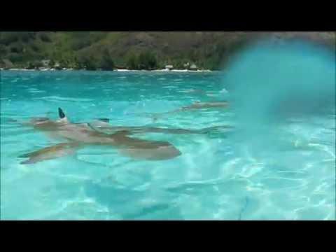 Requin pointe noir sur l'ile de mooréa