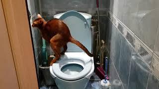 Абиссинский кот Серафим в уборной. abyssinian cat