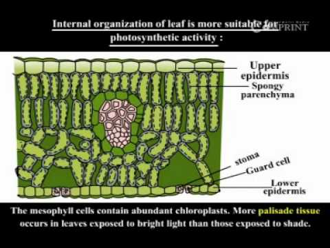 133a Internal Structure Of Leaf Youtube