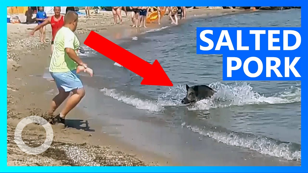 Wild Boar Swims out of Sea and Gets Slapped With Spade!