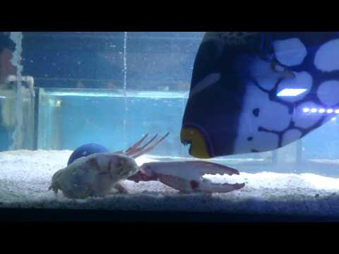 Clown Trigger Verse Crab